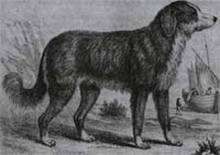 1790 illustration of Newfoundland Dog